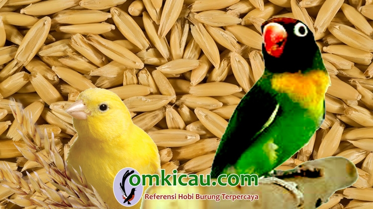 Manfaat biji oat