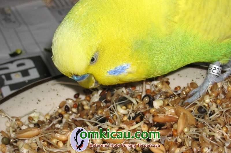 Kecambah yang mempunyai manfaat baik untuk burung kicauan