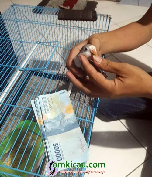 Breeding lovebird AB Bird Farm