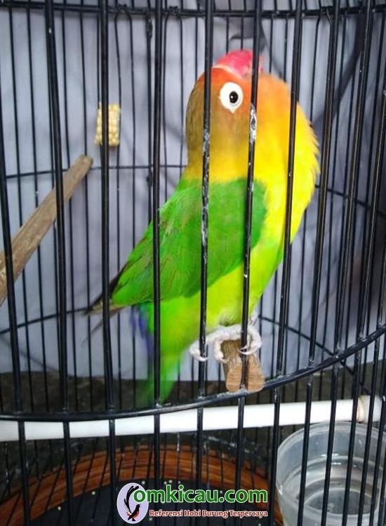 Lovebird Marsha