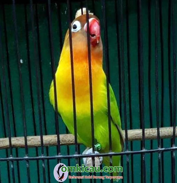 Lovebird Mbah Joyo