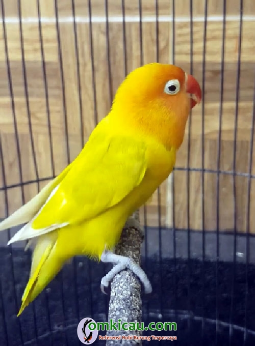 Lovebird Putri Dewi