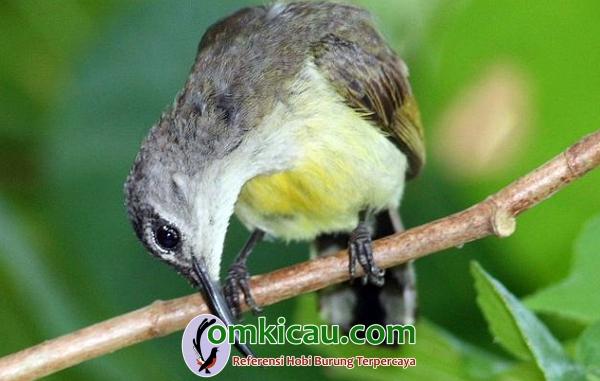 burung-madu bakau