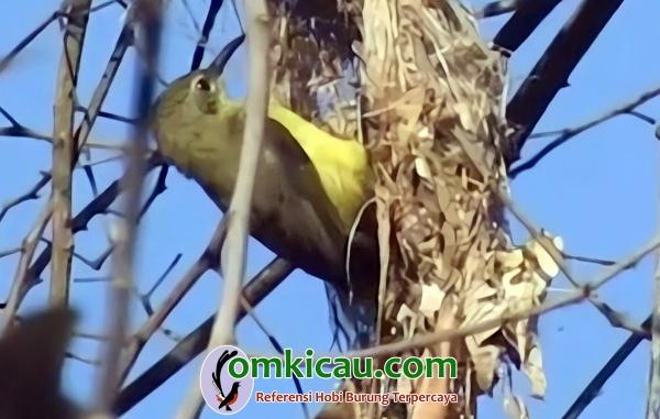 Burung-madu sumba