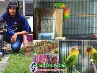 breeding lovebird OSBF