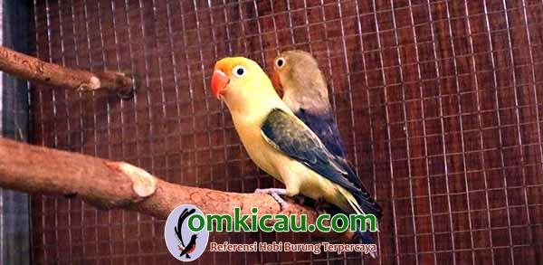 breeder lovebird