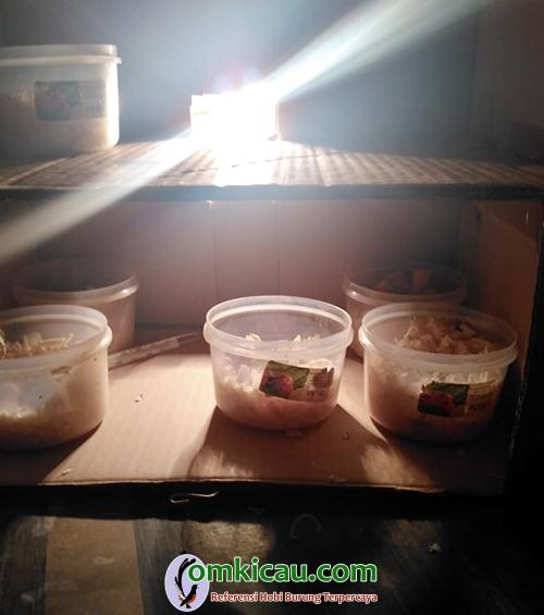 inkubator lovebird