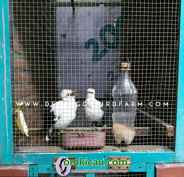 kandang ternak burung jalak