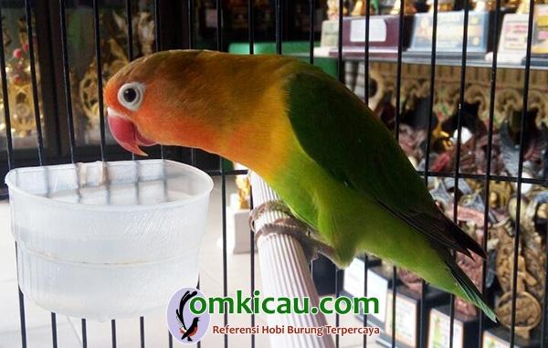 Lovebird Morena