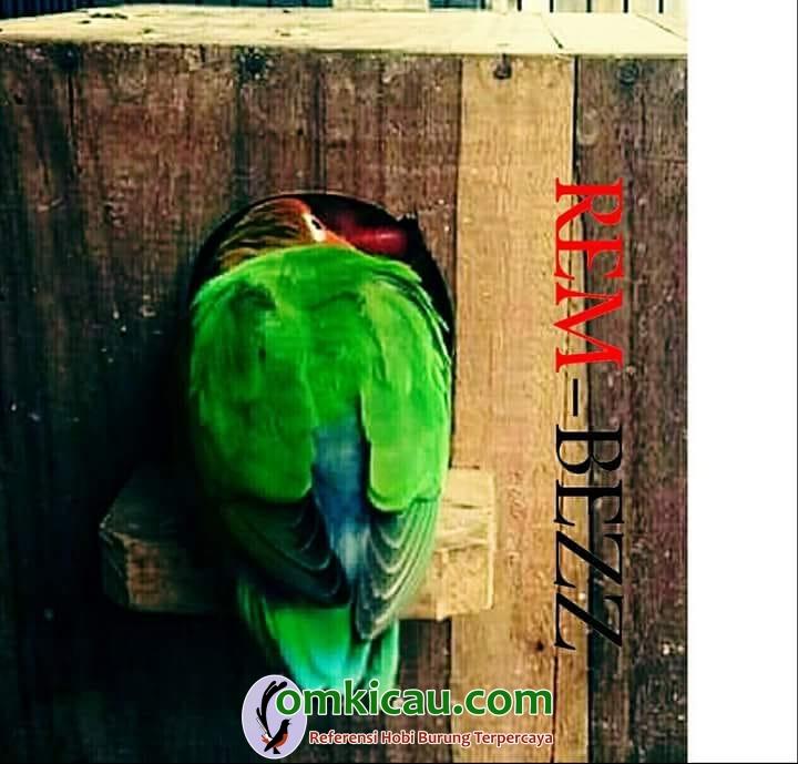 cara merawat burung lovebird