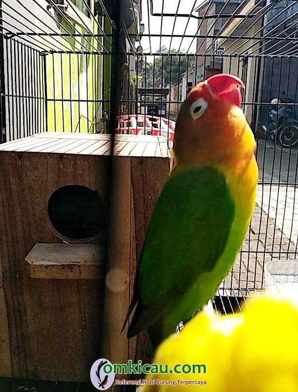 Lovebird Rembez