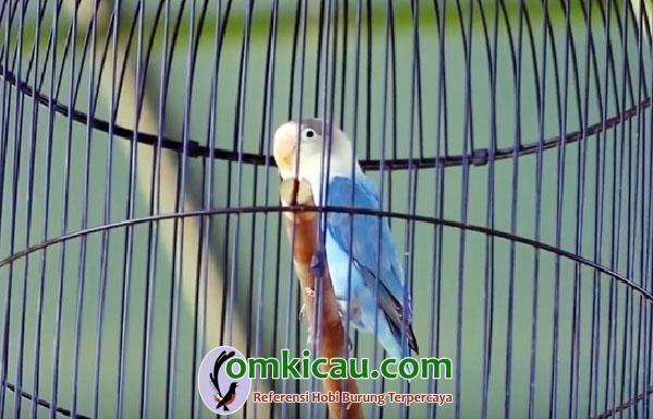 lovebird Dewa Amoy