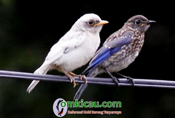 bluebird leucistic