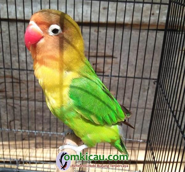 Lovebird Bro