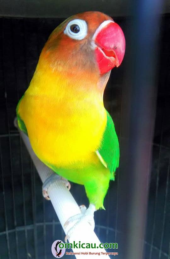 Lovebird Nyonya Tuwa