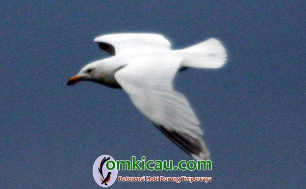 mutasi genetik burung