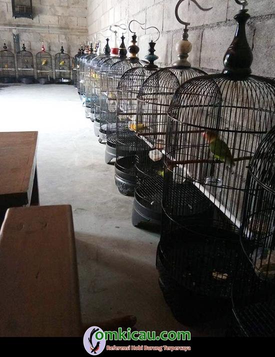 ternak lovebird di Salatiga