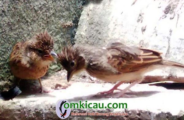 penangkaran burung branjangan