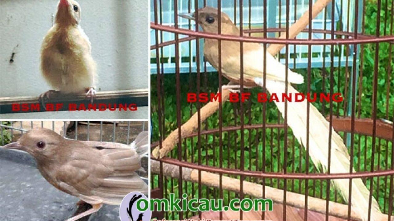 Ragam Mutasi Genetika Pada Burung Murai Batu Pun Bisa Mutan Om Kicau