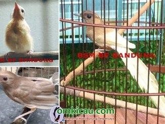 mutasi genetika pada burung