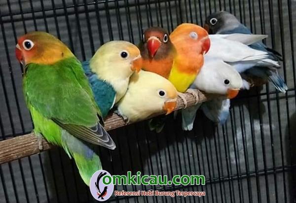 cara beternak burung lovebird