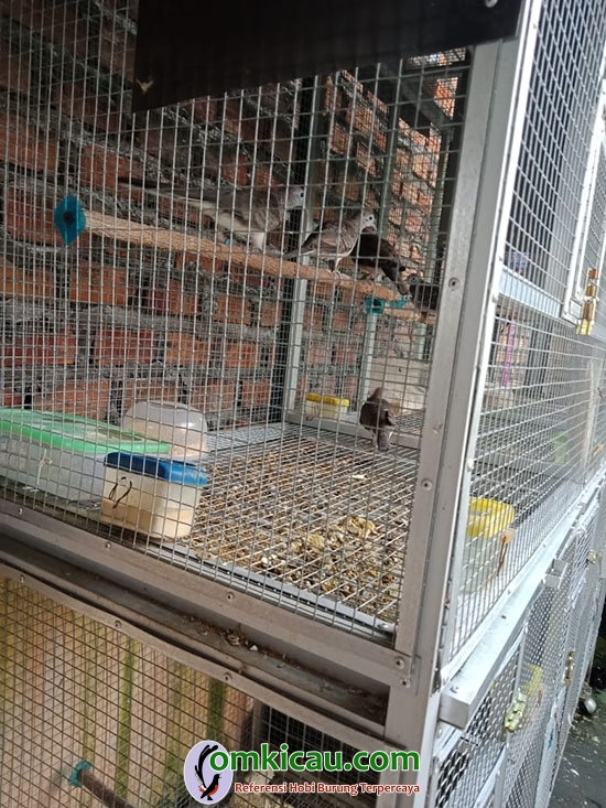 penangkaran burung perkutut