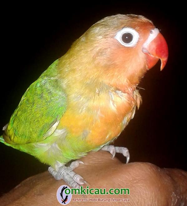 lovebird Hura-Hura