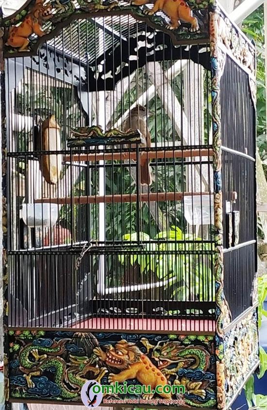 cara merawat burung kapas tembak