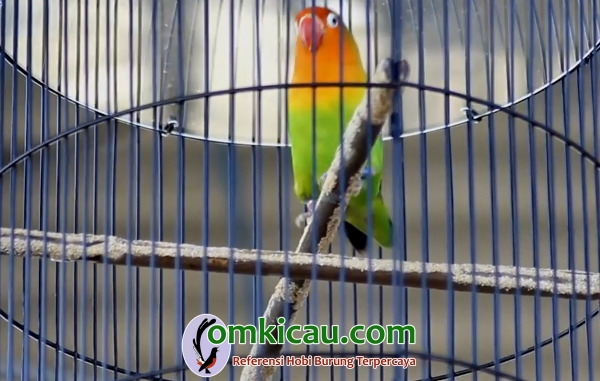 Lovebird Pinka