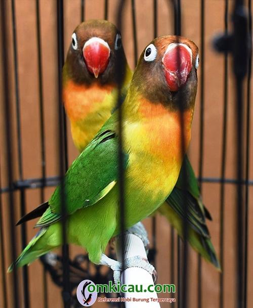 Lovebird Sakral
