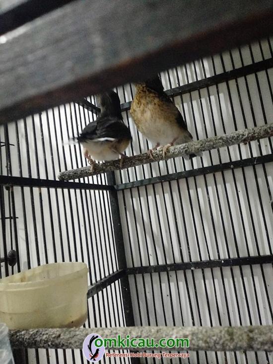 cara beternak burung murai batu