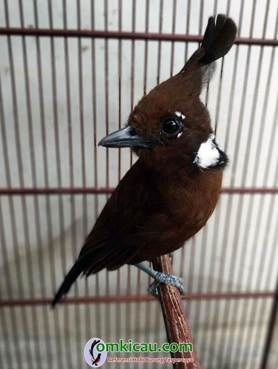 burung cililin cokelat