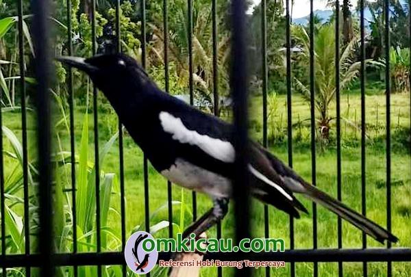 Om Eri Aceh berencana jual semua burungnya, termasuk kacer ...