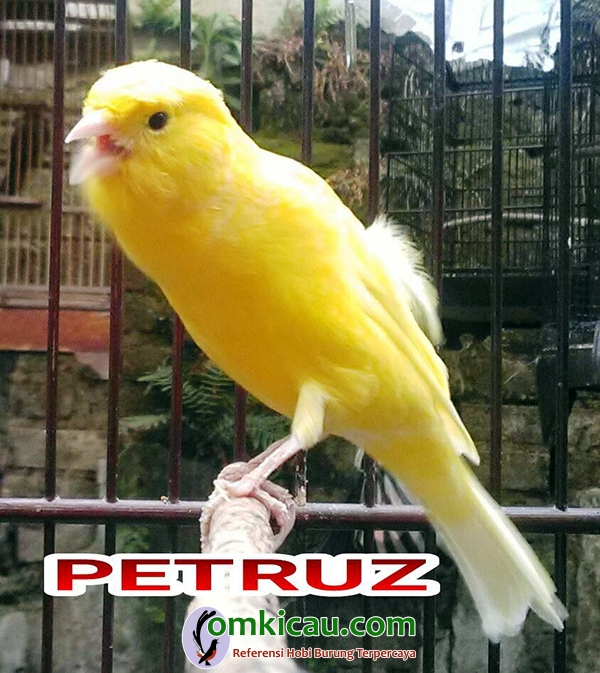 kenari Petruz