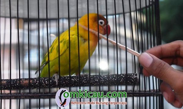lovebird Bonita