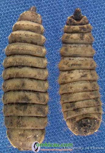 larva instar akhir