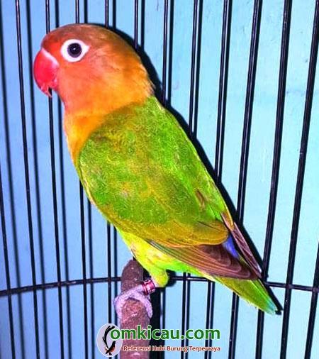 lovebird Ranger