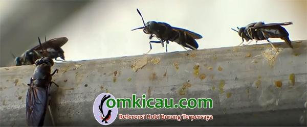 Lalat tentara hitam dewasa2