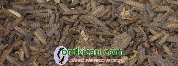 Larva BSF
