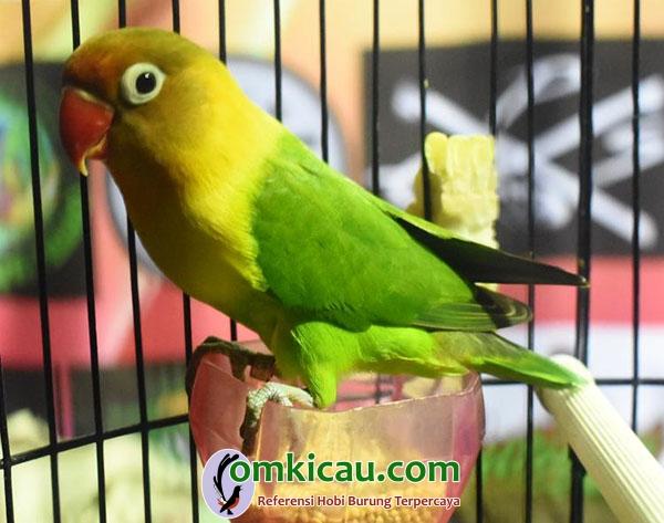 Lovebird Wisanggeni