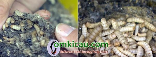 Budidaya maggot