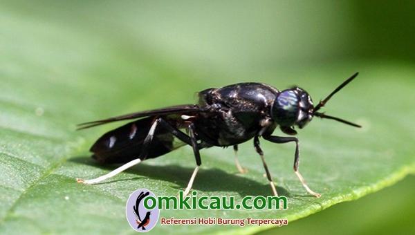 Lalat tentara hitam