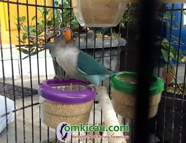 breeding lovebird Starlite BF