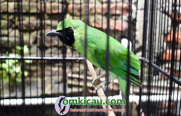 cucak hijau Angkling Darmo