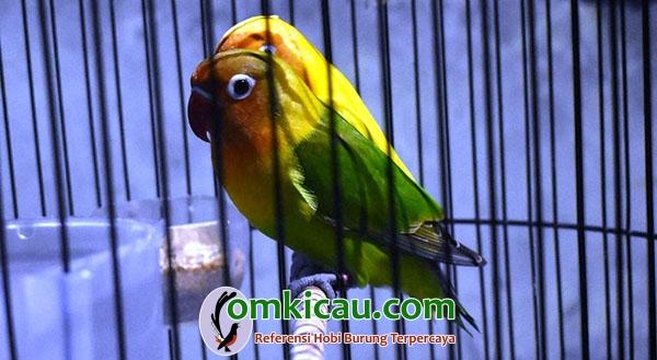 Lovebird kidz Ranger