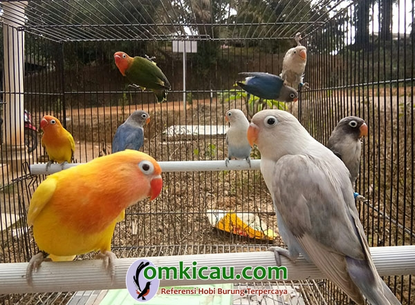 breeding lovebird warna