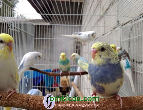 cara beternak burung parkit