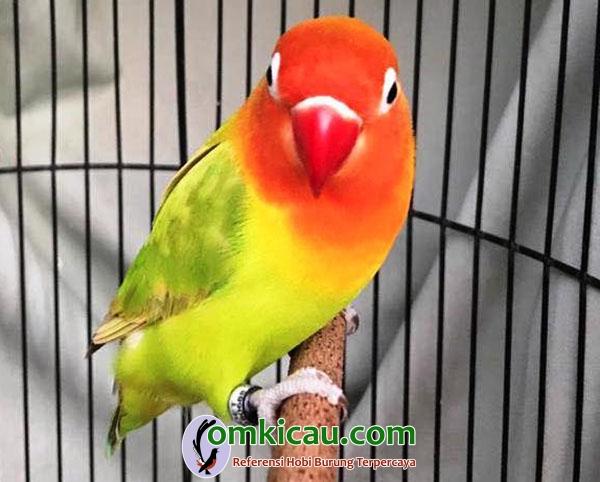 lovebird Solikin