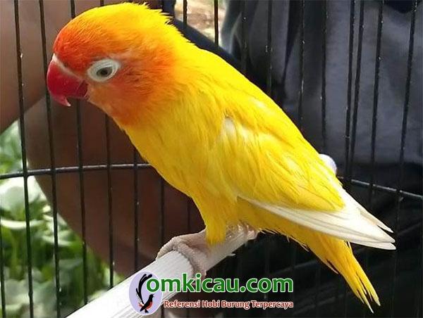 lovebird Tole