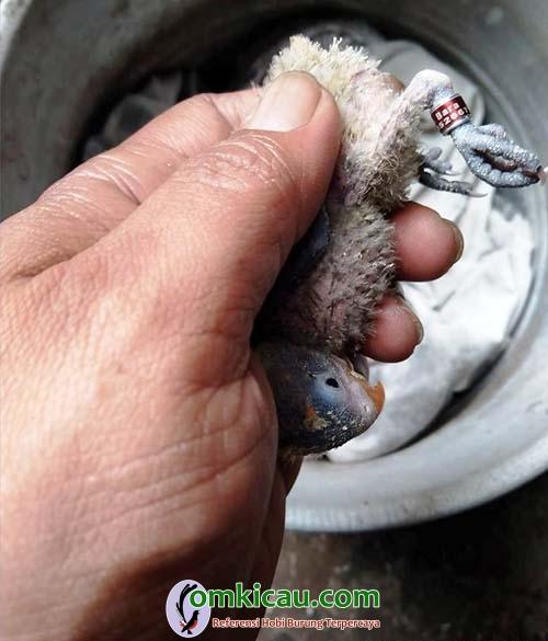 pemasangan ring lovebird